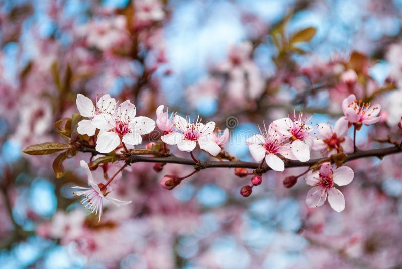 Άνθος κερασιών την άνοιξη με τη μαλακή και εκλεκτική εστίαση, εποχή Sakura στη φύση Υπόβαθρο στοκ εικόνα με δικαίωμα ελεύθερης χρήσης