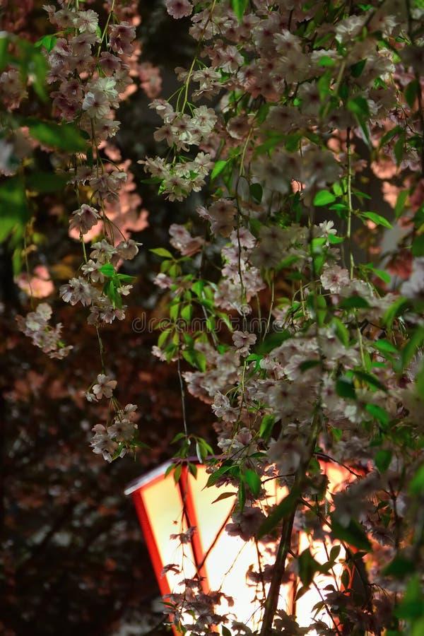Άνθος κερασιών τη νύχτα, Οζάκα Ιαπωνία στοκ εικόνες με δικαίωμα ελεύθερης χρήσης