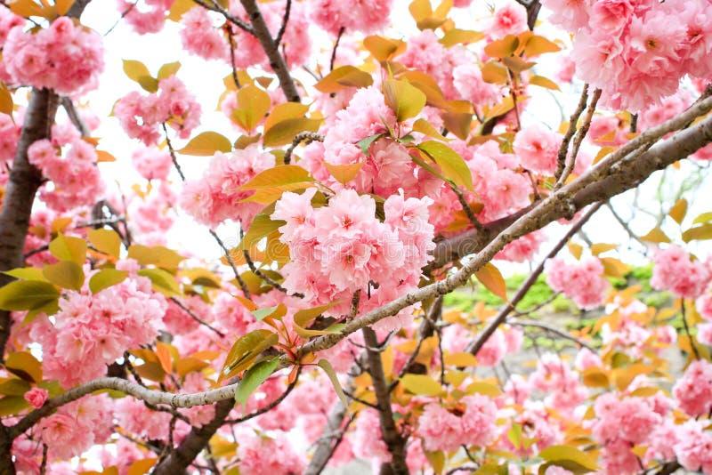 Άνθος κερασιών, sakura, στοκ φωτογραφία με δικαίωμα ελεύθερης χρήσης