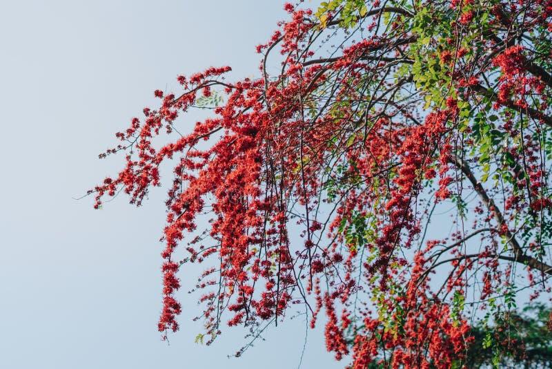Άνθος κόκκινων λουλουδιών στο μεγάλο δέντρο στοκ εικόνες
