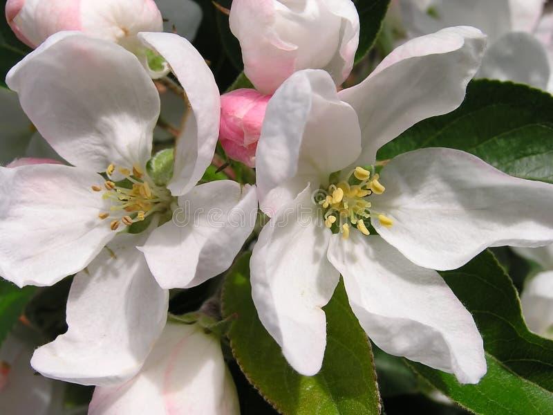 Download άνθος μήλων στοκ εικόνα. εικόνα από κήπος, άσπρος, ήλιος - 399657