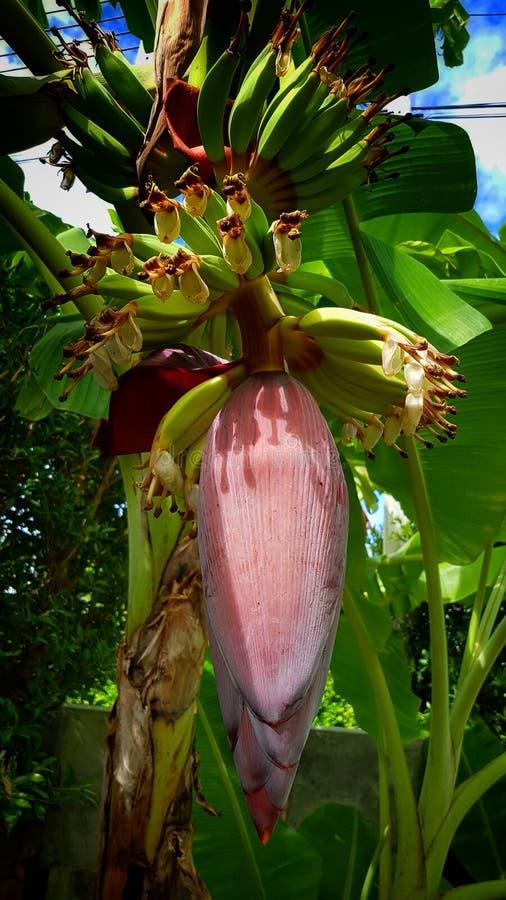 Άνθος μπανανών στοκ φωτογραφία με δικαίωμα ελεύθερης χρήσης