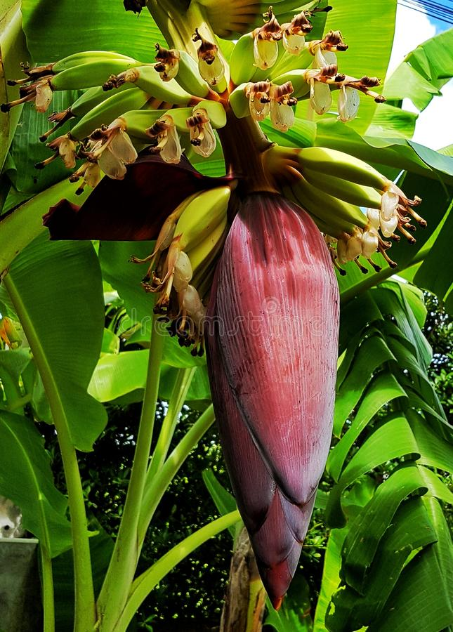 Άνθος μπανανών στοκ φωτογραφία