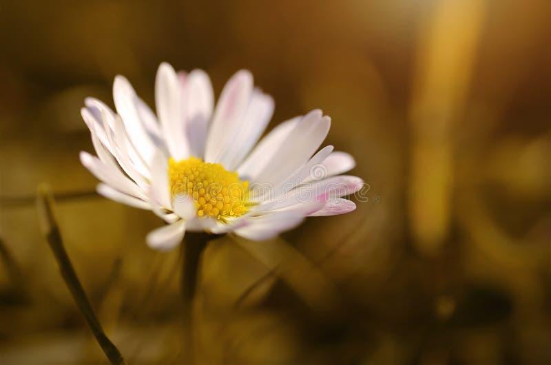Άνθος λουλουδιών της Daisy την άνοιξη στο λιβάδι στοκ φωτογραφίες