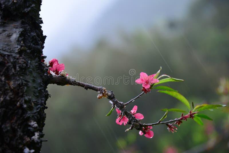 Άνθος ροδάκινων στη βροχή στοκ εικόνα