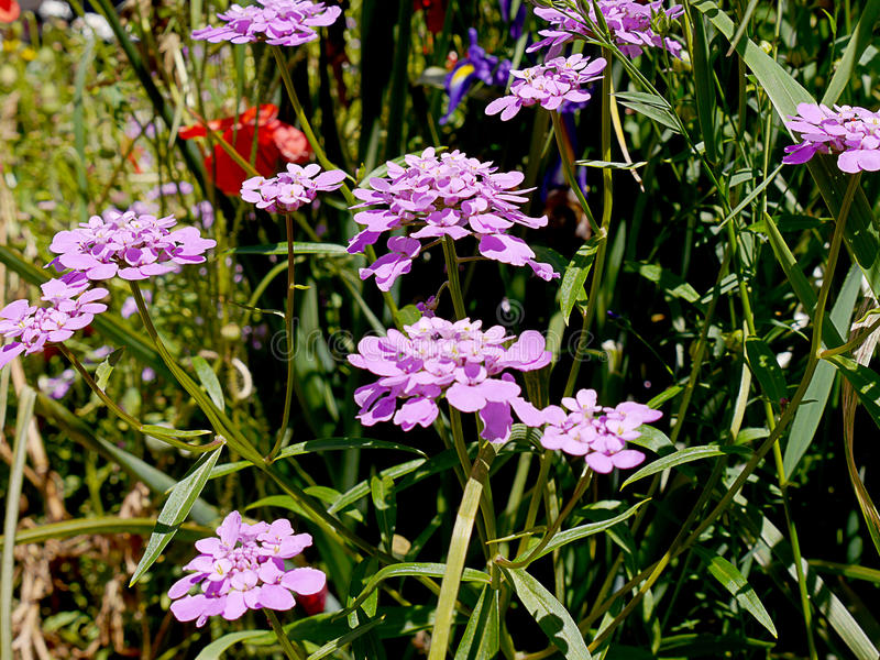 Άνθος σε έναν αγγλικό κήπο σε Lancashire στοκ εικόνες