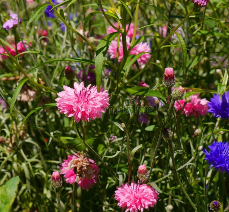 Άνθος σε έναν αγγλικό κήπο σε Lancashire στοκ εικόνα με δικαίωμα ελεύθερης χρήσης