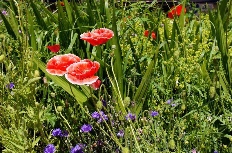 Άνθος σε έναν αγγλικό κήπο σε Lancashire στοκ φωτογραφίες με δικαίωμα ελεύθερης χρήσης