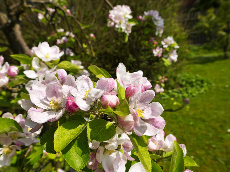 Άνθος της Apple σε έναν αγγλικό κήπο σε Lancashire στοκ εικόνες