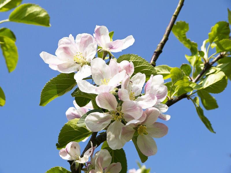 Άνθος της Apple σε έναν αγγλικό κήπο σε Lancashire στοκ φωτογραφίες