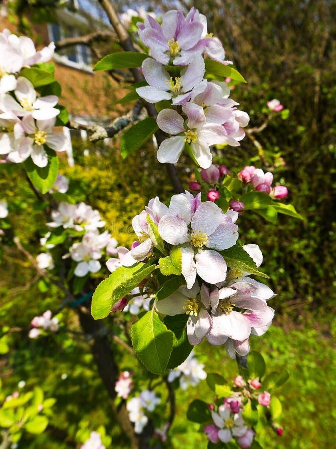 Άνθος της Apple σε έναν αγγλικό κήπο σε Lancashire στοκ φωτογραφία