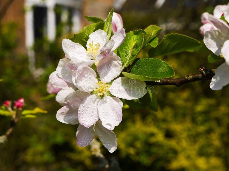 Άνθος της Apple σε έναν αγγλικό κήπο σε Lancashire στοκ φωτογραφία με δικαίωμα ελεύθερης χρήσης