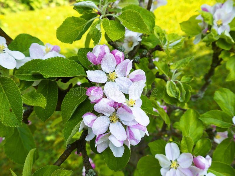 Άνθος της Apple σε έναν αγγλικό κήπο σε Lancashire στοκ εικόνα με δικαίωμα ελεύθερης χρήσης
