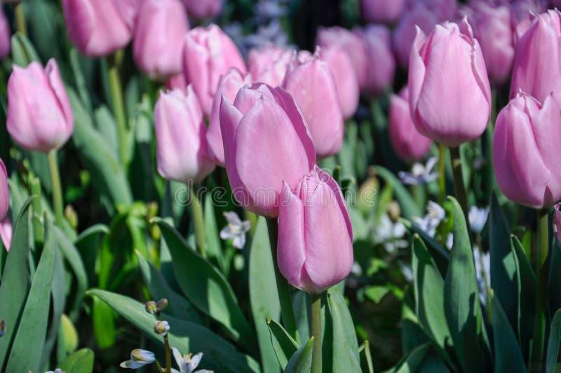 Άνθος τουλιπών Ρόδινος τομέας λουλουδιών κινηματογραφήσεων σε πρώτο πλάνο υπαίθρια στοκ φωτογραφίες με δικαίωμα ελεύθερης χρήσης