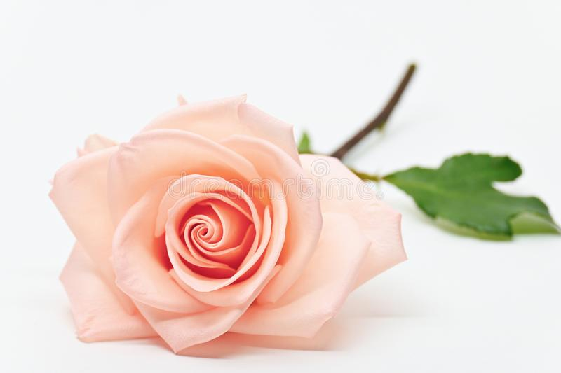 Single beauty flower rose gold color blossom with heart shape isolated στοκ εικόνα με δικαίωμα ελεύθερης χρήσης