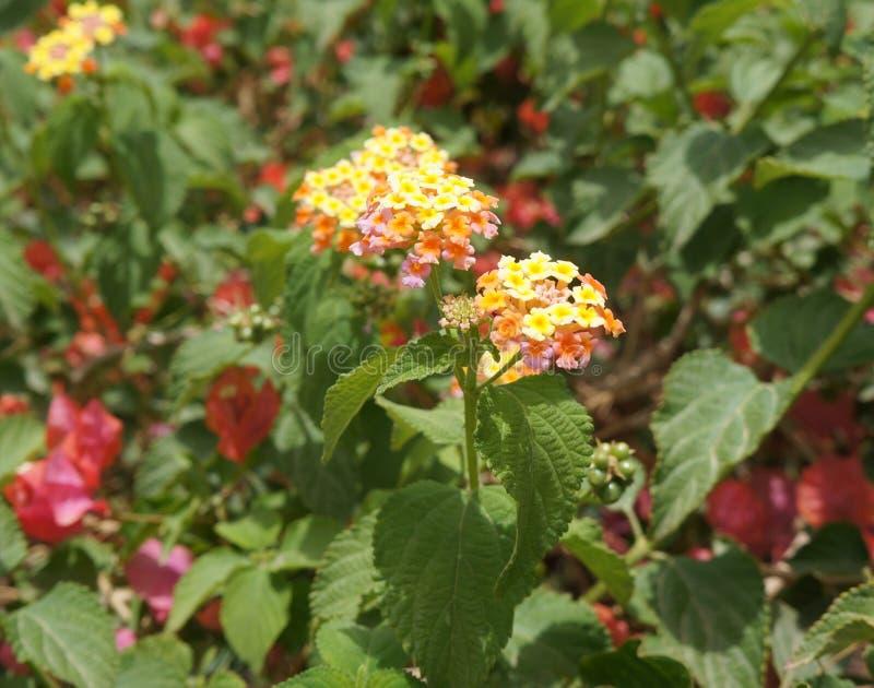 Άνθος Camara Lantana, εκλεκτική εστίαση στο λουλούδι στοκ φωτογραφίες