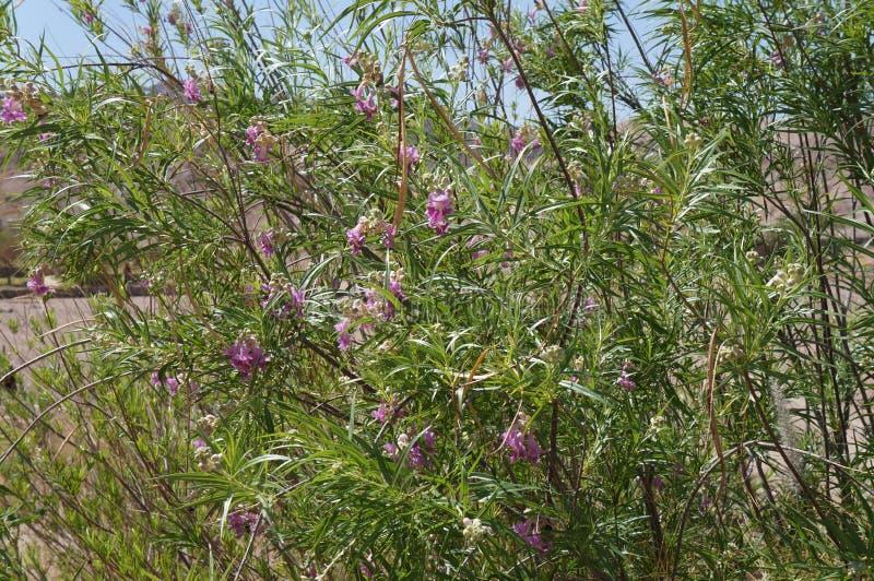 Άνθος linearis Chilopsis ιτιών ερήμων στοκ φωτογραφίες με δικαίωμα ελεύθερης χρήσης