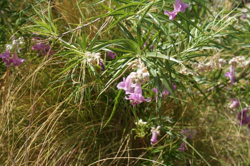 Άνθος linearis Chilopsis ιτιών ερήμων στοκ εικόνες με δικαίωμα ελεύθερης χρήσης