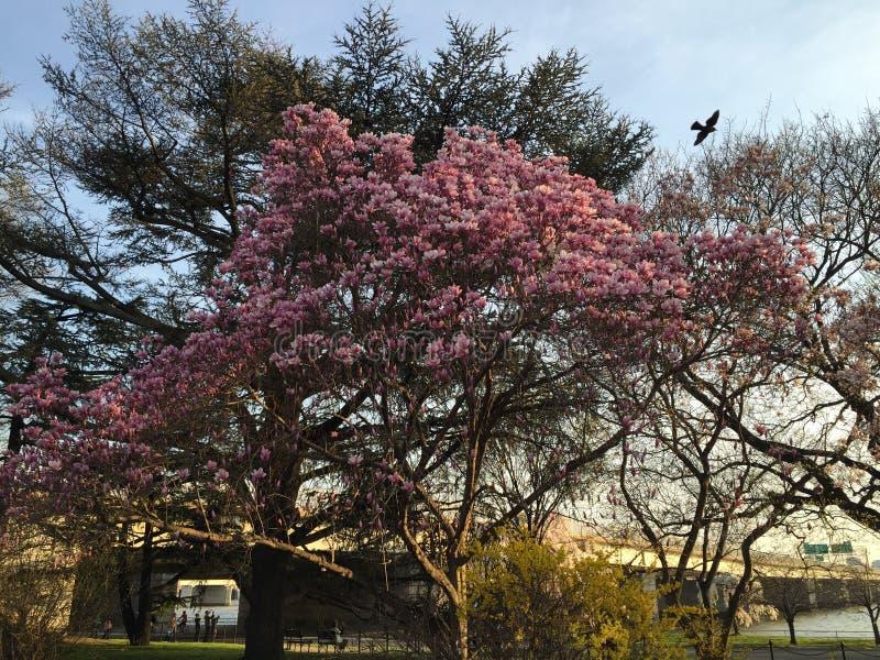 Άνθος Magnolia στο Washington DC στοκ εικόνα