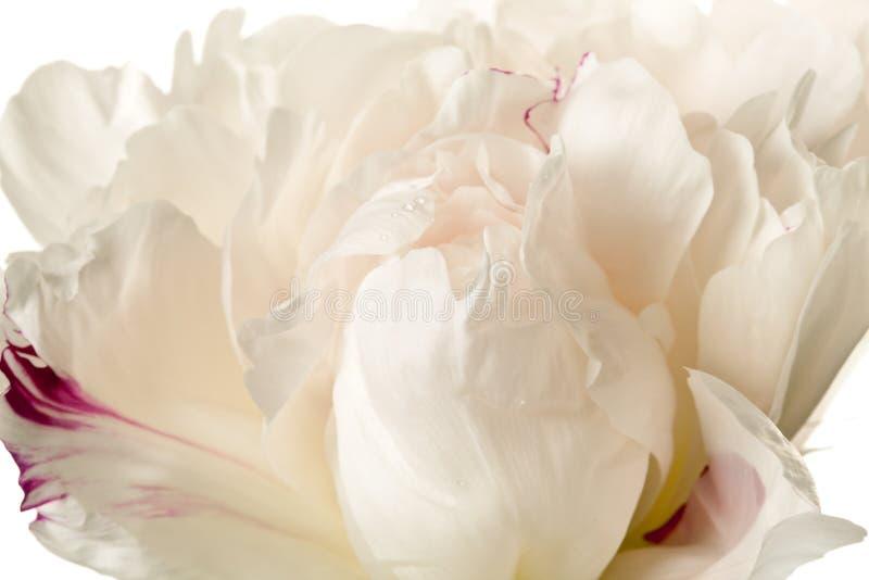 Άνθος Peony που απομονώνεται σε μια άσπρη ανασκόπηση στοκ φωτογραφία