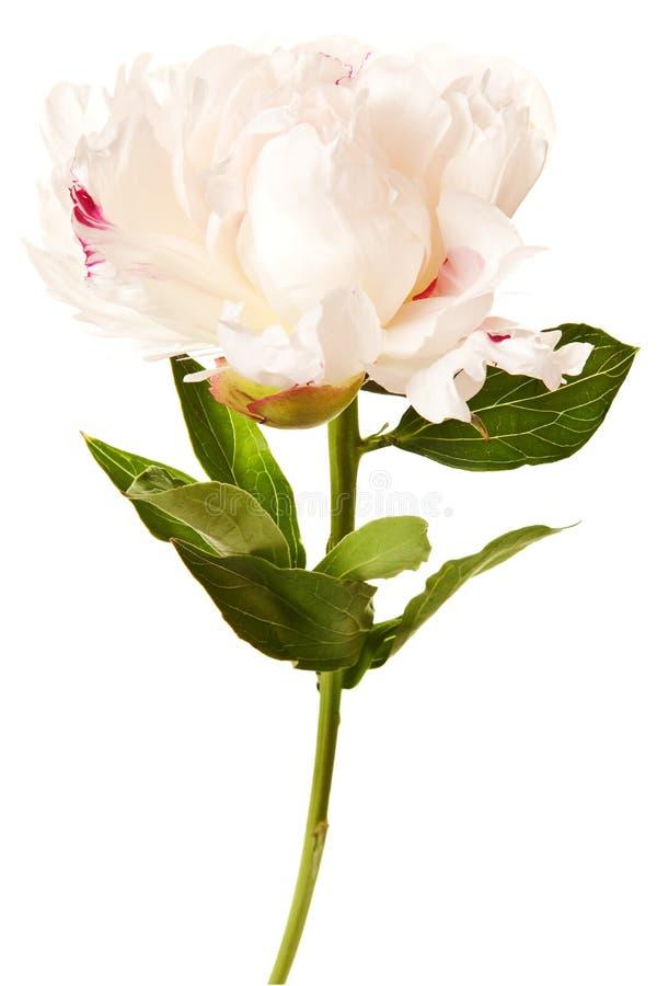 Άνθος Peony που απομονώνεται σε μια άσπρη ανασκόπηση στοκ εικόνες με δικαίωμα ελεύθερης χρήσης