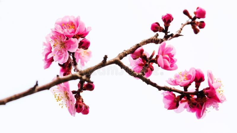 Άνθος Sakura κερασιών που απομονώνεται στο λευκό στοκ εικόνα
