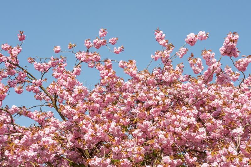 Άνθος serrulata Prunus με το μπλε ουρανό στοκ εικόνες με δικαίωμα ελεύθερης χρήσης