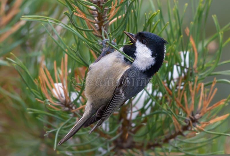 Άνθρακας Tit που σκαρφαλώνει στον κλάδο πεύκων σε αναζήτηση των τροφίμων στο χειμώνα στοκ φωτογραφίες