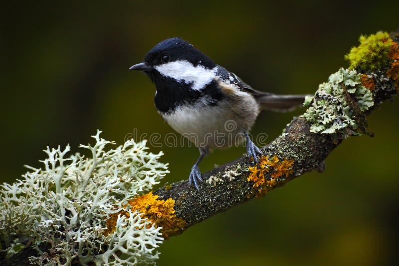 Άνθρακας Tit, συνεδρίαση Songbird στον όμορφο κλάδο λειχήνων με το σαφές σκοτεινό υπόβαθρο, ζώο στο βιότοπο φύσης, Γερμανία στοκ εικόνα