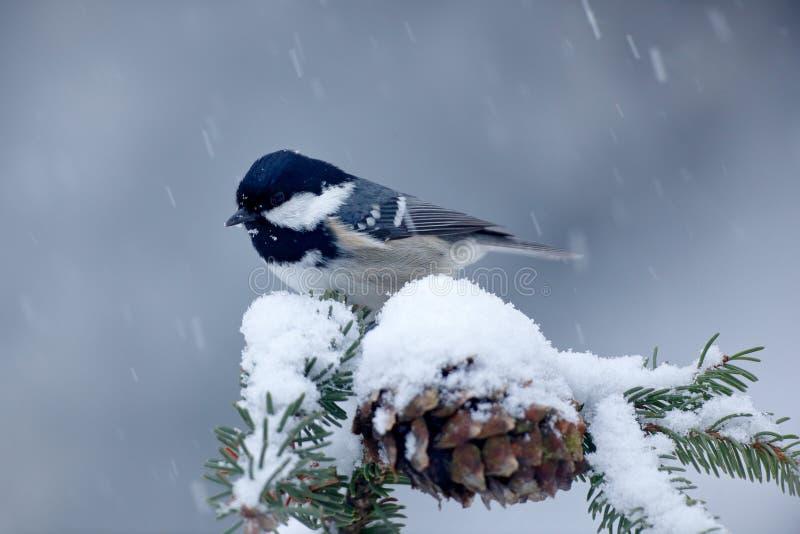 Άνθρακας Tit, Songbird στο χιονώδη κομψό κλάδο δέντρων με το χιόνι, χειμερινή σκηνή Χιόνι στον κομψό κώνο δέντρων Πουλί τον κρύο  στοκ φωτογραφίες