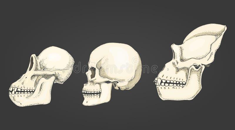 Άνθρωπος και χιμπατζής, γορίλλας απεικόνιση της βιολογίας και ανατομίας χαραγμένο χέρι που σύρεται στο παλαιό σκίτσο και το εκλεκ διανυσματική απεικόνιση