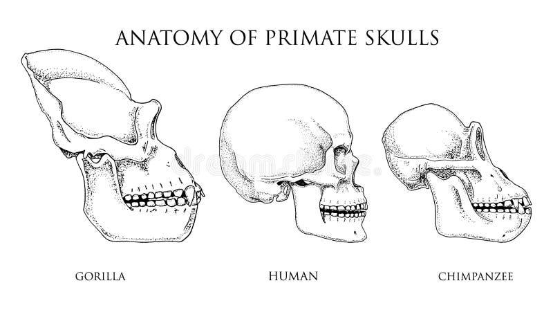 Άνθρωπος και χιμπατζής, γορίλλας απεικόνιση της βιολογίας και ανατομίας χαραγμένο χέρι που σύρεται στο παλαιό σκίτσο και το εκλεκ ελεύθερη απεικόνιση δικαιώματος