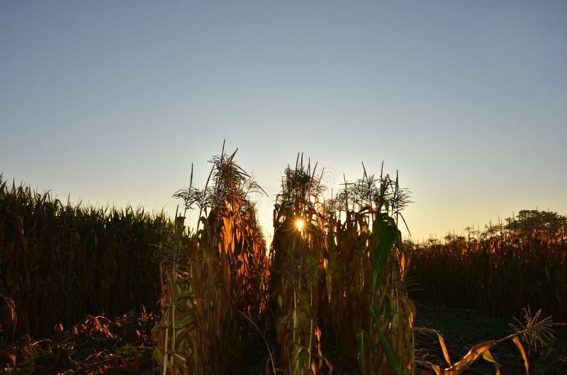 Άνοδοι ήλιων πίσω από τον κίτρινο τομέα καλαμποκιού το φθινόπωρο στοκ φωτογραφίες