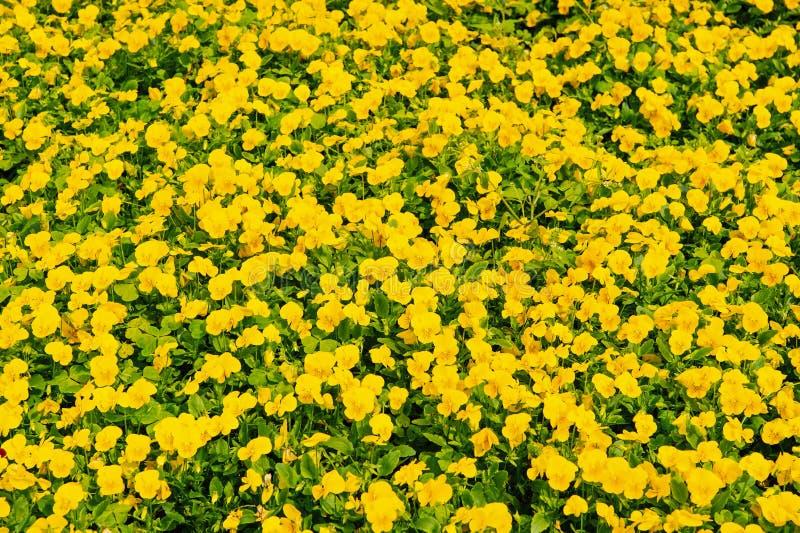 Άνοιξη ή καλοκαίρι Κίτρινα pansies με τα πράσινα φύλλα στο Χάμιλτον, Βερμούδες Λουλούδια Pansy την άνοιξη ή θερινή άνθιση στοκ εικόνα