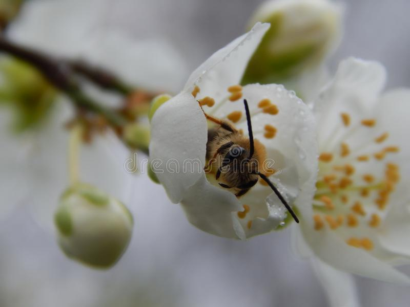 Άνοιξη Η μέλισσα στο λουλούδι στοκ φωτογραφίες με δικαίωμα ελεύθερης χρήσης