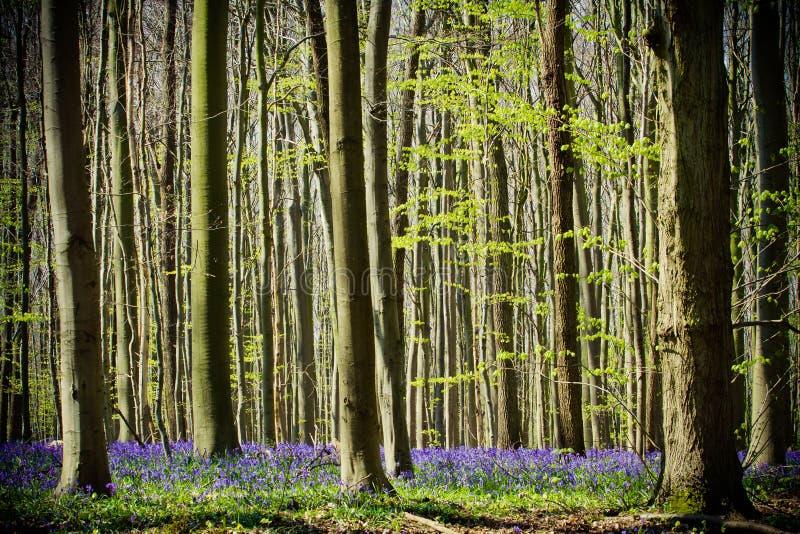 Άνοιξη και bluebells στα ξύλα Hallerbos στοκ εικόνες με δικαίωμα ελεύθερης χρήσης