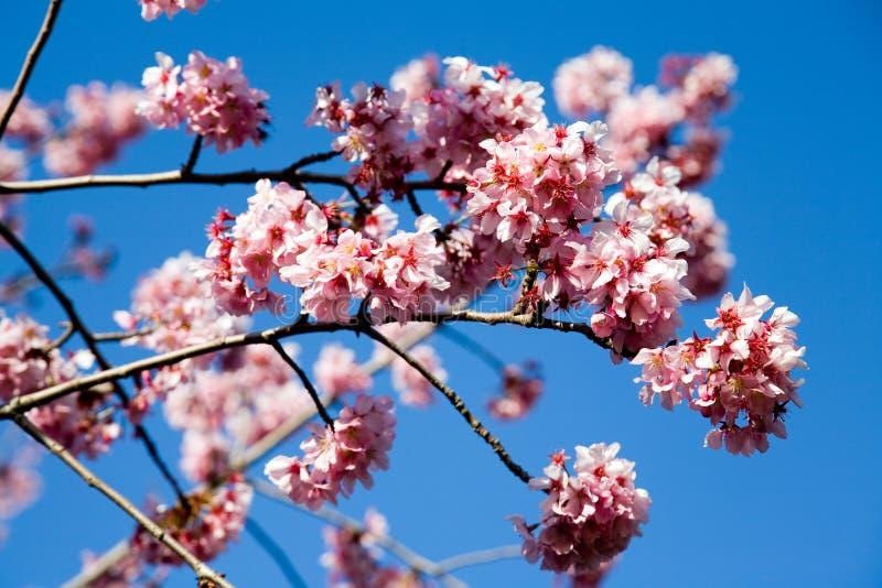 άνοιξη λουλουδιών κερασιών στοκ φωτογραφία