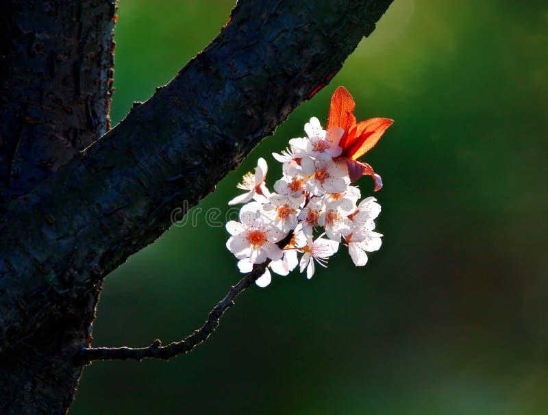 Download άνοιξη λουλουδιών στοκ εικόνες. εικόνα από μάρτιος, θερμός - 397768
