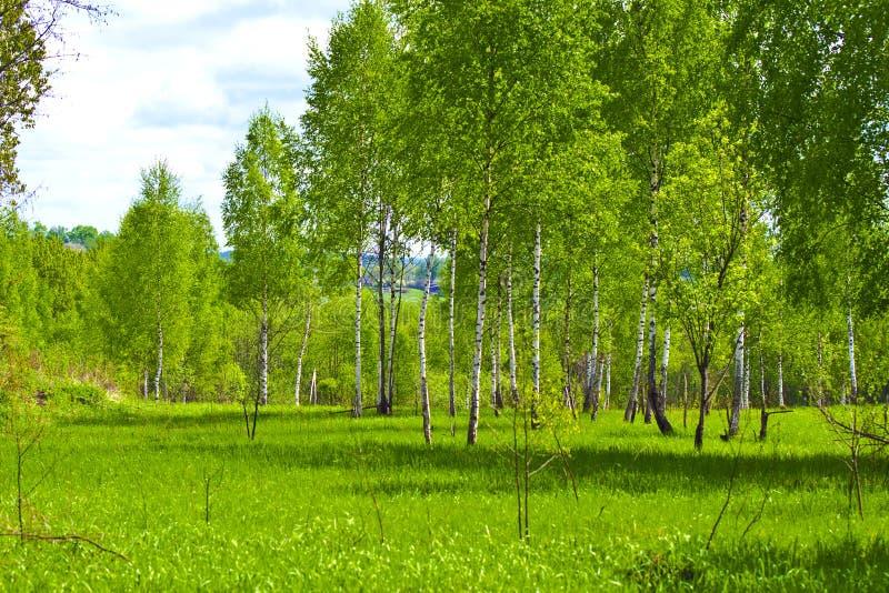 Άνοιξη. Νέα δέντρα σημύδων στα φρέσκα πράσινα στοκ φωτογραφία με δικαίωμα ελεύθερης χρήσης
