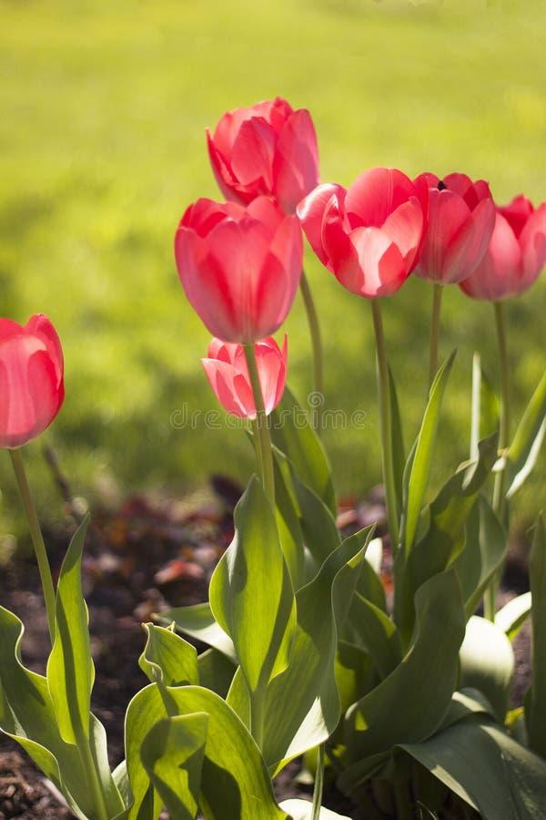 Άνοιξη Οι πρώτες τουλίπες Κήπος οργασμός Λουλούδια Οι τουλίπες έχουν ανθίσει στον κήπο για την τρυφερότητα και την αγάπη στοκ εικόνες