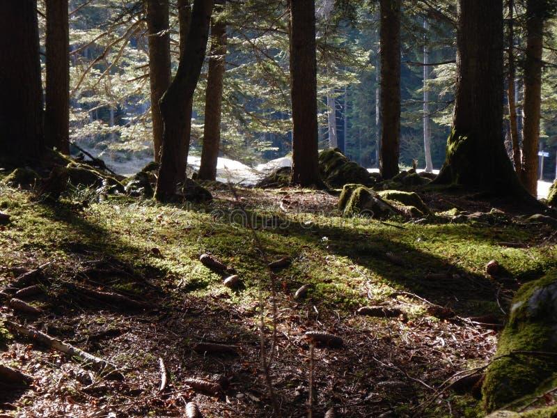 Άνοιξη πιό forrest με το πράσινο mossy έδαφος στοκ εικόνα