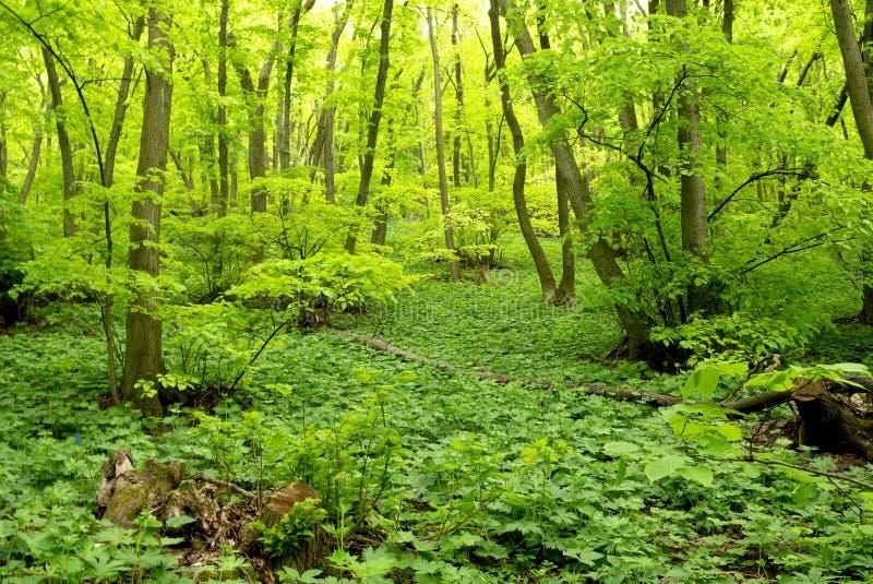 Άνοιξη πράσινη στο μικτό δάσος στοκ φωτογραφία με δικαίωμα ελεύθερης χρήσης