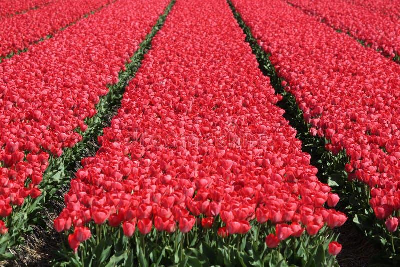 Άνοιξη στο κόκκινο bloo λουλουδιών τουλιπών τομέων λουλουδιών ολλανδικών τουλιπών στοκ φωτογραφίες με δικαίωμα ελεύθερης χρήσης