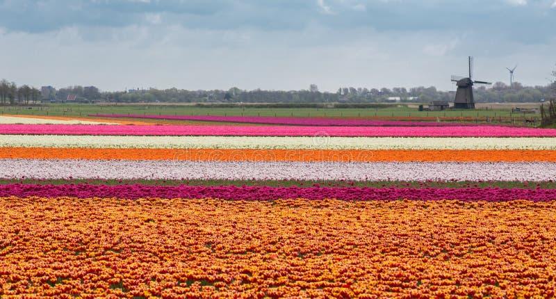 άνοιξη της Ολλανδίας στοκ εικόνες με δικαίωμα ελεύθερης χρήσης
