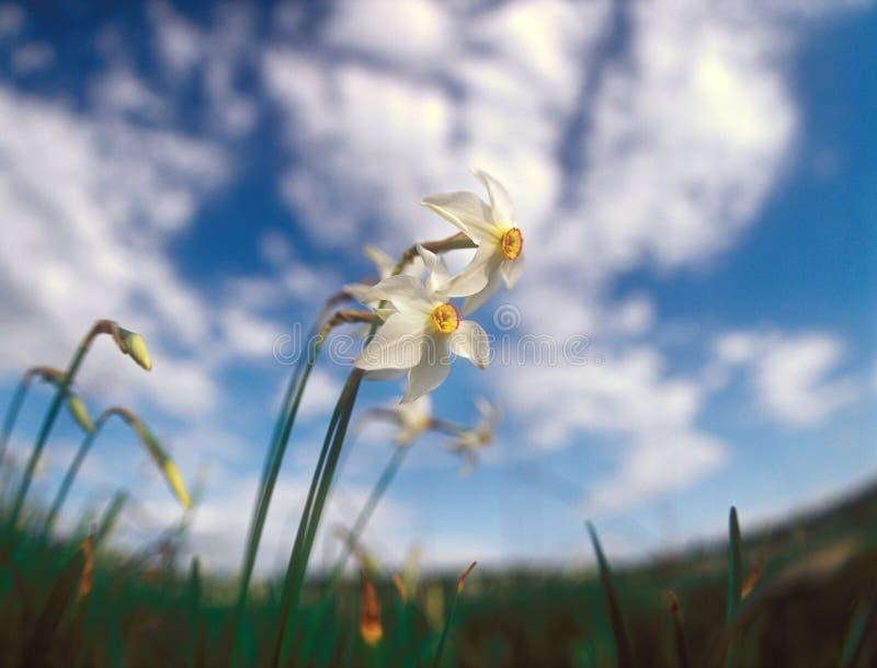 Άνοιξη daffodils. στοκ εικόνα
