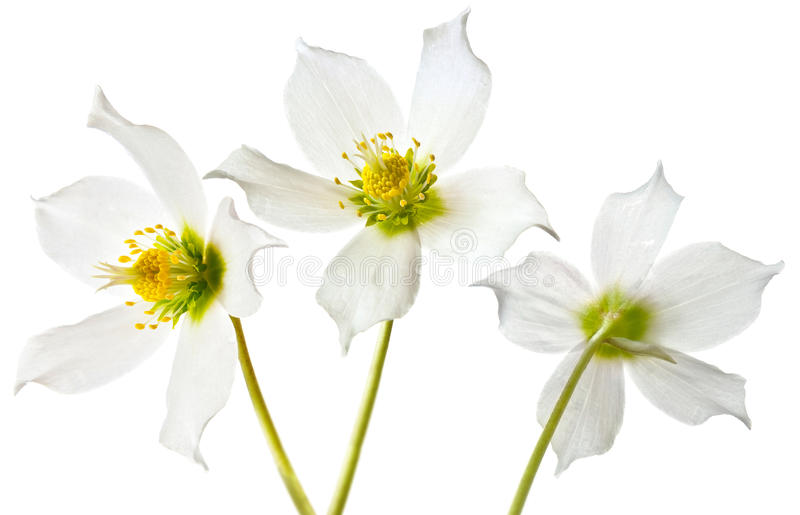 Download άνοιξη Helleborus λουλουδιών Στοκ Εικόνα - εικόνα από λουλούδι, ποώδης: 22776225