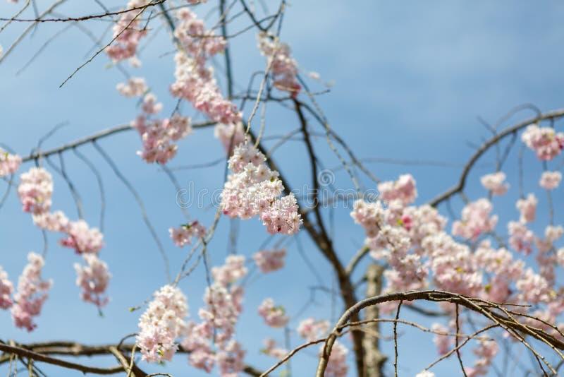 Άνοιξη sakura λουλουδιών στοκ φωτογραφίες