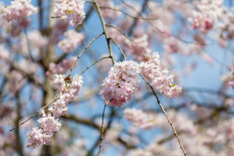 Άνοιξη sakura λουλουδιών στοκ φωτογραφία με δικαίωμα ελεύθερης χρήσης
