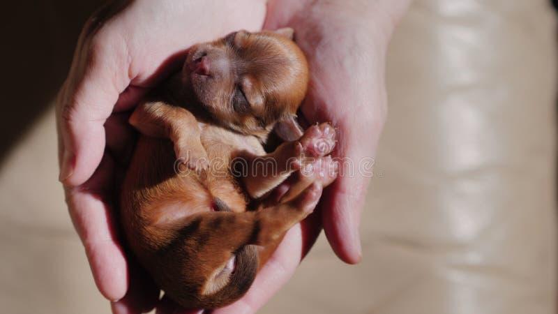 Άποψη άνωθεν: Ύπνοι μικροί νεογέννητοι καφετιοί κουταβιών στις παλάμες των χεριών στοκ φωτογραφία