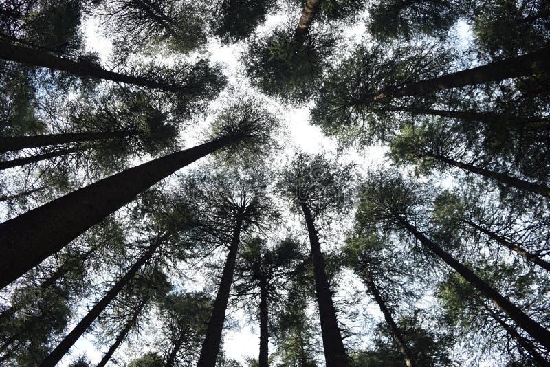 Άποψη δέντρων πεύκων προς τον ουρανό στοκ εικόνες